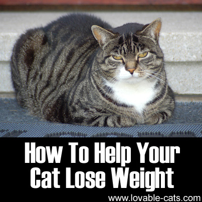 how to help a cat lose weight photo - 1