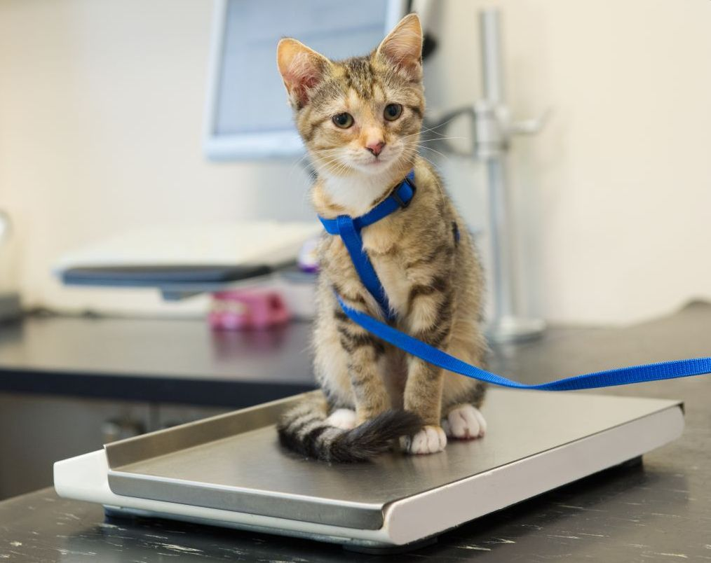 reasons cats lose weight photo - 1